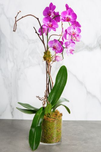 Double Lavender Orchids in Vase